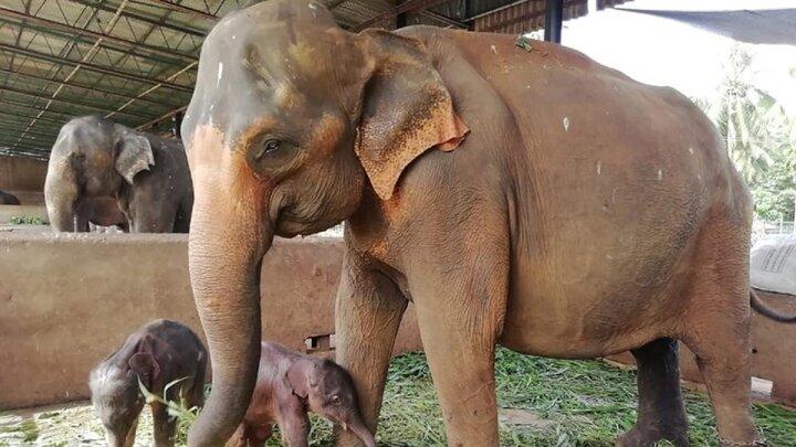 ویدیو جالب از تولد فیلهای دوقلو در سریلانکا