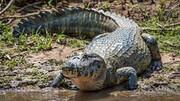 لحظه عجیب شکار پهپاد توسط تمساح گرسنه / فیلم
