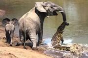 دفاع جانانه فیل ماده از فرزندش در برابر حمله کروکودیل / فیلم