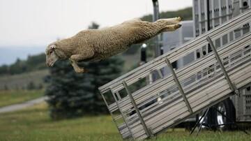 پرواز عجیب و جالب یک گوسفند در آسمان / عکس