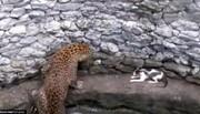جدال تماشایی گربه شجاع در برابر پلنگ خشمگین / فیلم