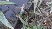 زورآزمایی دو مار برای تصاحب قورباغه شکارشده / فیلم
