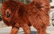 ویدیو دیده نشده از سگ عظیمالجثه ماستیف تبتی