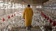 تازه ترین قیمت مرغ در بازار اعلام شد / هر کیلو مرغ چند؟