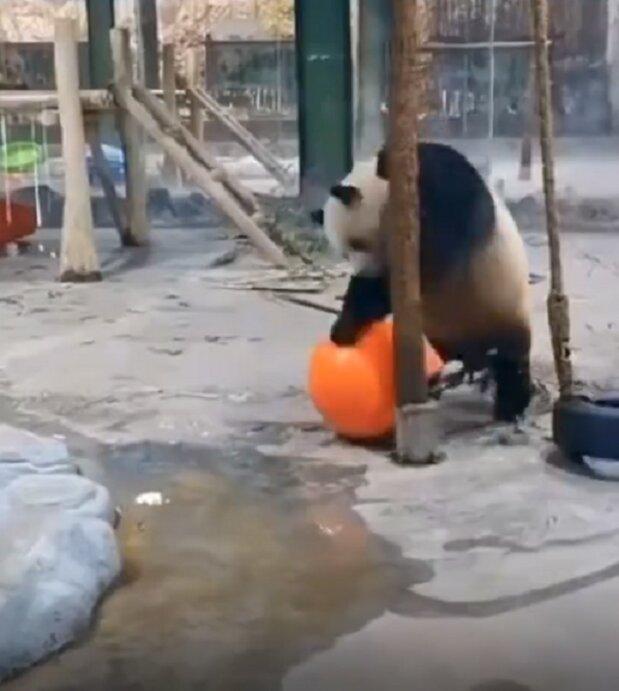 ویدیو خندهدار از بازیگوشی پاندای دست و پا چلفتی