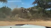 دعوای وحشتناک دو فیل عصبانی با یکدیگر / فیلم