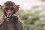 توانایی عجیب یک میمون در صخرهنوردی! / فیلم