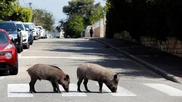 جولان دادن گرازهای گرسنه در شهر رم ایتالیا / فیلم