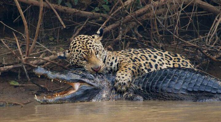 حمله وحشتناک جگوار به تمساح / فیلم