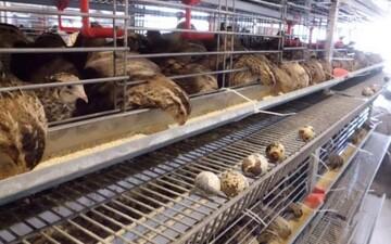بلدرچین هم کمیاب و گران شد / بلدرچین چقدر از مرغ گرانتر است؟