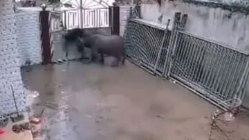 ویدیو دلخراش از لحظه حمله بیرحمانه گاو خشن به پیرمرد / فیلم