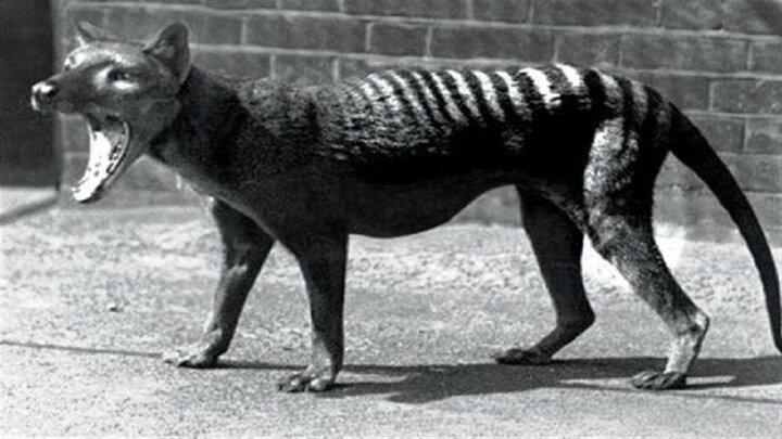 ویدیو قدیمی و دیده نشده از حیوانی که ۹۰ سال پیش منقرضشده است!