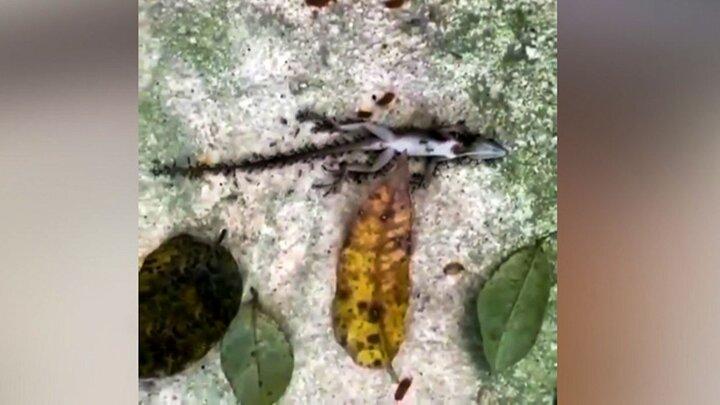 حمل جسد مارمولک بزرگ توسط مورچه / فیلم