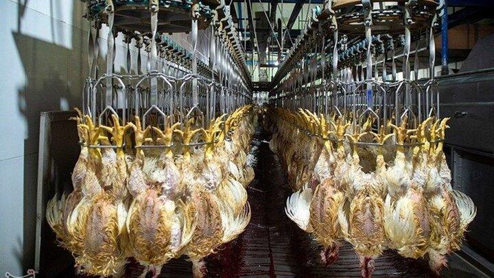 قیمت مرغ در مهرماه ارزان میشود