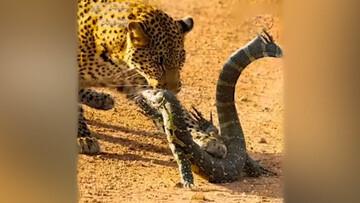 شکار مارمولک غولپیکر توسط پلنگ / فیلم