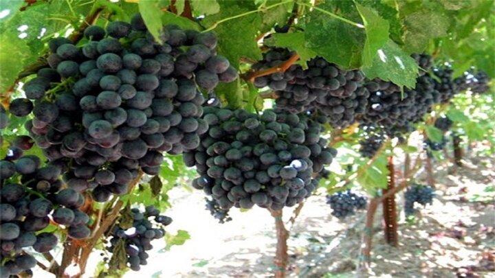 خواص شگفتانگیز انگور سیاه برای بدن؛ از بهبود سلامت قلب و عروق تا پیشگیری از سرطان