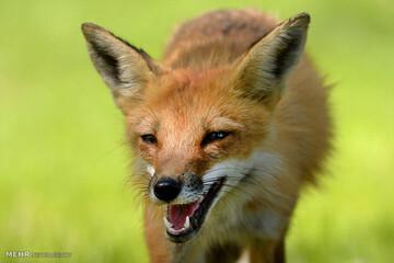 حسرت گربهها از غذا دادن انسان به یک روباه / فیلم