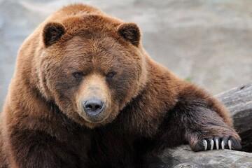 ویدیو جالب از تربیت خرس خانگی غول پیکر!