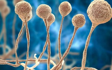 همه چیز درباره بیماری قارچ سیاه / عکس