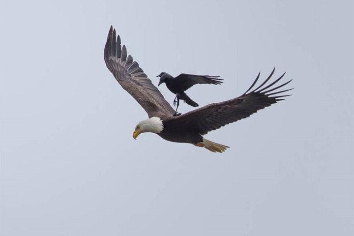 سربه سر گذاشتن عقاب توسط کلاغهای بازیگوش / فیلم