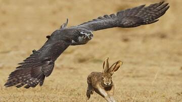 لحظه دلخراش شکار شدن خرگوش توسط شاهین گرسنه / فیلم