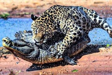 شکار تمساح عظیم الجثه توسط دو پلنگ / فیلم