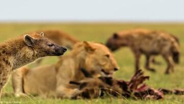 دعوای گله شیرها و کفتارها برای نجات شیر ماده / فیلم