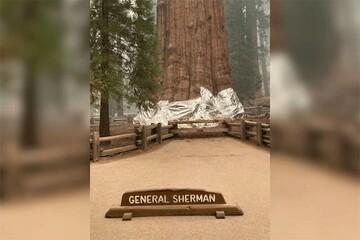 بزرگترین درخت جهان آلومینیوم پیچ شد! / فیلم