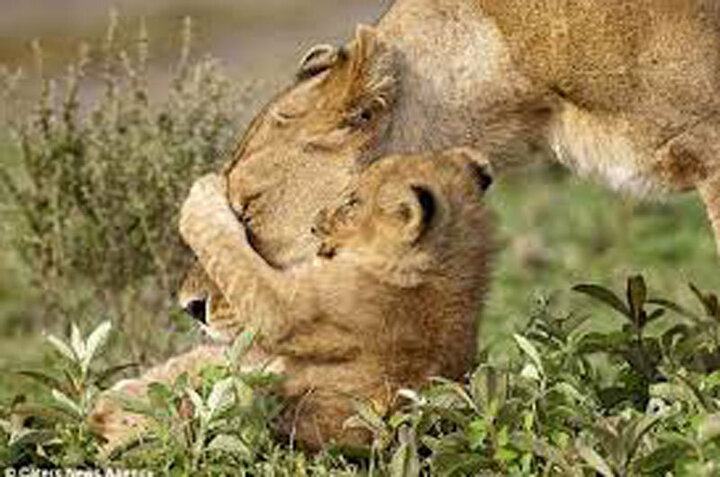 ویدیو دیدنی از بازی جالب یک توله شیر با مادرش!
