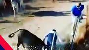 شلیک به گاو خشمگین در اراک / گاو کشته شد