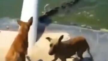 تصاویر ناراحتکننده از شکارشدن سگ توسط کروکدیل گرسنه! / فیلم