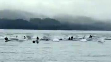 ویدیو دیدنی از لحظه فرار دلفینها به دلیل حمله نهنگهای قاتل در ساحل!