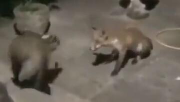 جدال گورکن با روباه بر سر غذا / فیلم