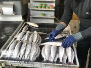 هر ایرانی سالانه چند کیلو ماهی مصرف می کند؟