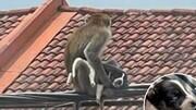 گروگانگیری عجیب توله سگ توسط میمون که سه روز به طول کشید! / فیلم