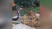 دفاع تمامقد مرغ از تخمهایش در برابر مار گرسنه / فیلم