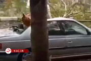 لحظه وحشتناک سقوط درخت بر روی پژو پارس در گرگان / فیلم