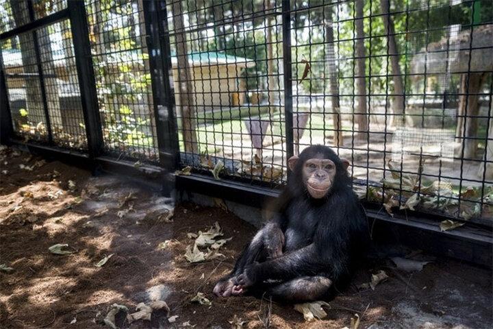 واکنش خندهدار یک شامپانزه به تقلید رفتارش در باغوحش / فیلم