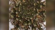 این گیاهی حتی پس از خشک شدن دوباره سبز میشود! / فیلم