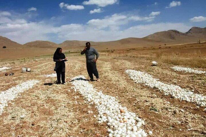 برداشت ۳ هزار و ۶۰۰ تن پیاز در شمال سمیرم