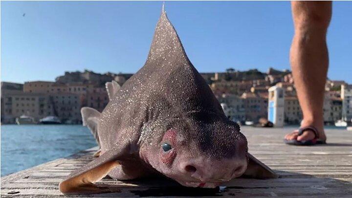 کشف ماهی عجیبالخلقه با کله خوک و بدن کوسه! / عکس