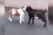ابراز محبت یک بزغاله به سگ همبازیاش / فیلم