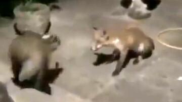 حمله ناگهانی گورکن به روباه / فیلم