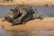 استتار عجیب پلنگ برای شکار تمساح در آب / فیلم