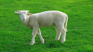 اقدام خندهدار گوسفند در لایو چوپان سوژه شد! / فیلم