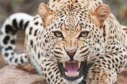 دفاع جانانه یک زن هندی در مقابل حمله پلنگ / فیلم