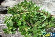 درمان درد کلیه و سر دردهای میگرنی با این سبزی پرخاصیت!