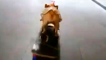 ویدیو تماشایی از اسکیتسواری سگ در خیابان!