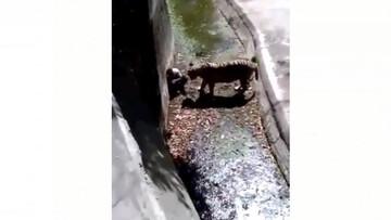 حمله وحشتناک ببر وحشی به مرد بدشانس در باغ وحش / فیلم