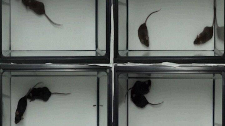 آزمایش همدردی موشها با یکدیگر | موشها هم افسرده میشوند! / فیلم